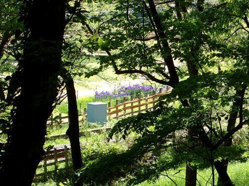 八国山カキツバタP4281278.JPG