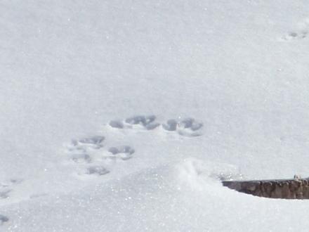 P2060476雪上足跡 (440x330).jpg