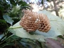 P2240846アシナガバチの巣 (210x158).jpg