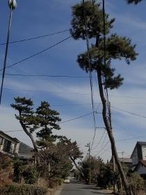 P2281067大磯化粧坂松並木 (210x280).jpg