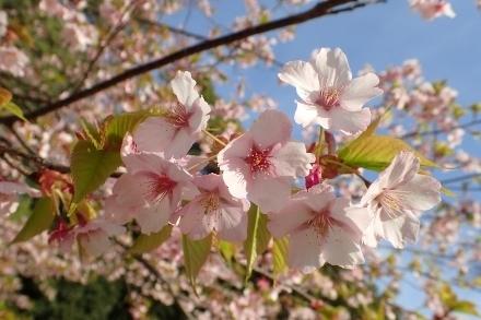 P3180377修善寺カンザクラ (440x293).jpg