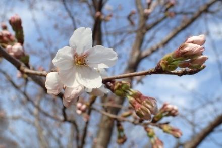 P3260499ソメイヨシノ (440x293).jpg
