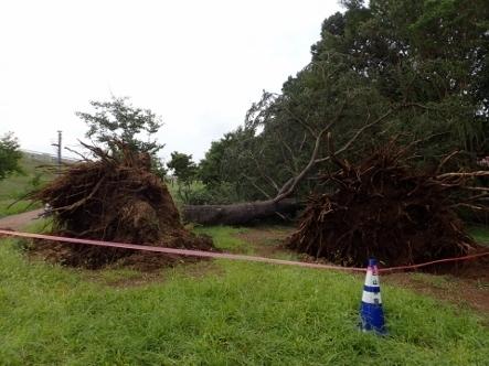 PA036784台風24被害ヒマラヤスギ�A�B (443x332).jpg