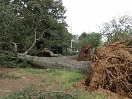 PA036790台風24被害ヒマラヤスギ�A�B (443x332).jpg