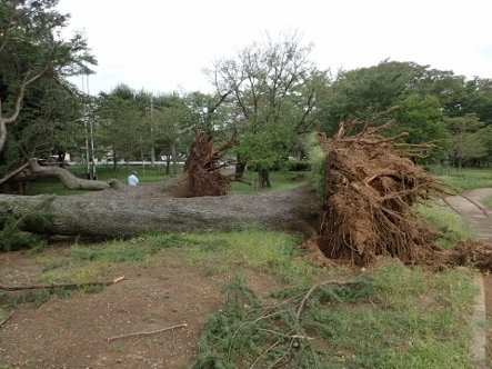 PA036792台風24被害ヒマラヤスギ�A�B (443x332).jpg