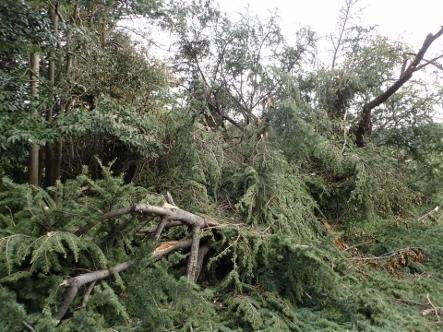 PA036795台風24被害ヒマラヤスギ�A�B (443x332).jpg