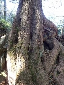 PB288379松の木尾根のタコ松1020 (210x280).jpg